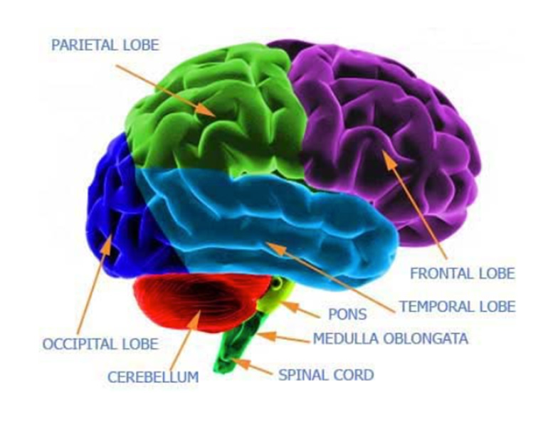 functions-of-a-brain