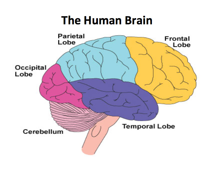 The Human Brain Making Headway Center